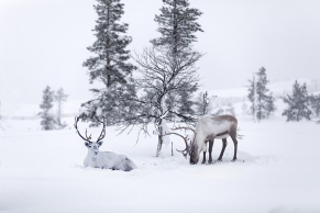 Zwei Rentiere im Schnee