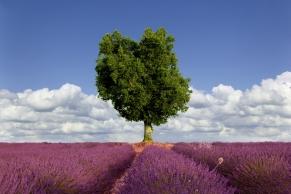 Lavendelfeld mit Baum